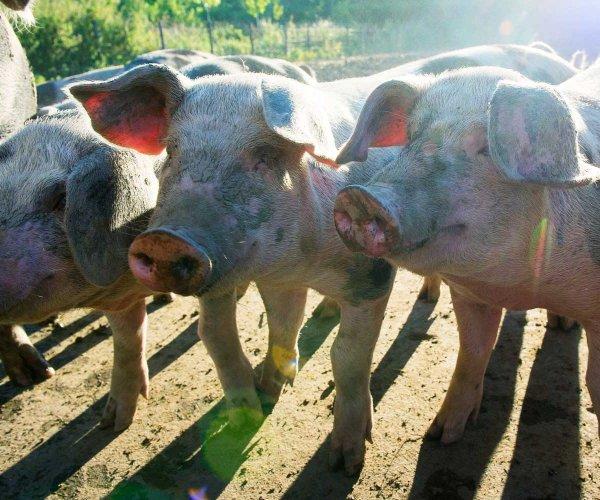 Varkensvlees 002