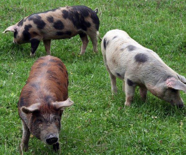 Varkensvlees 006